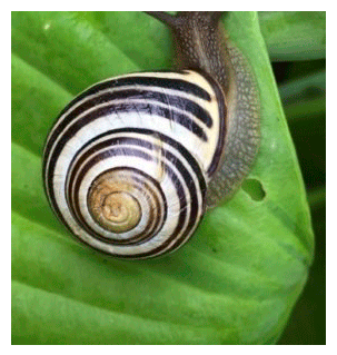 fibonacci snail on leaf