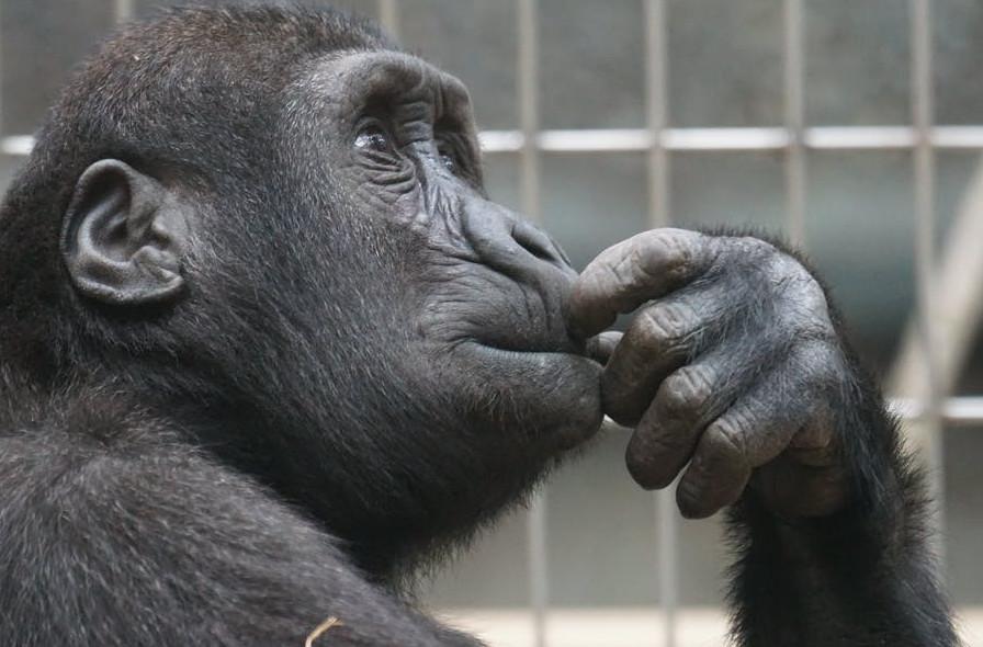 Thinking chimp